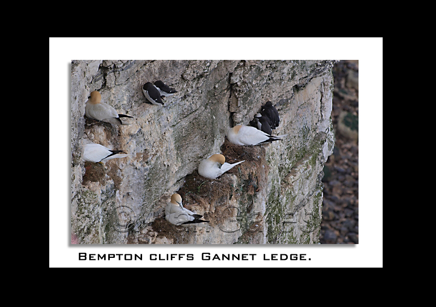 Gannets nesting on ledge