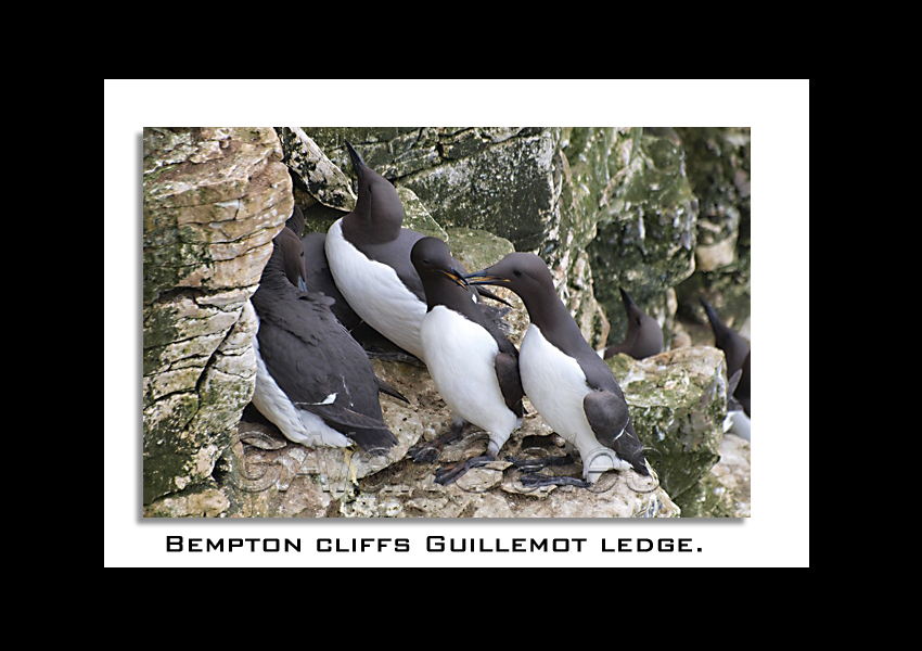 Guillemots on Bempton ledge