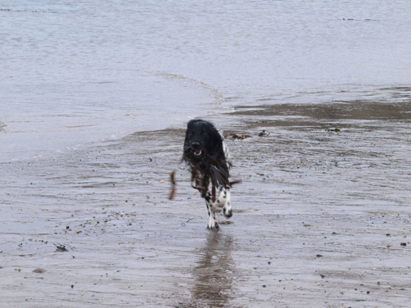 Gracie, Munsterlander at Runswick beach