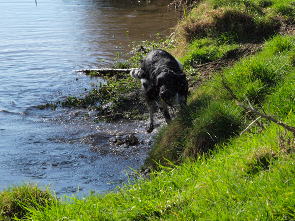 Gracie, Munsterlander the river rat