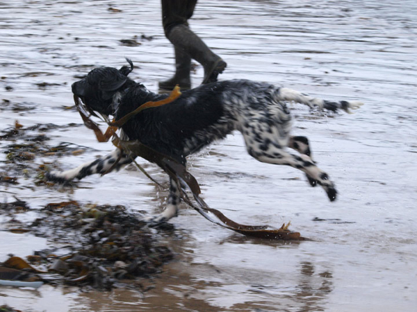 Seaweed fun for Gracie, Munsterlander
