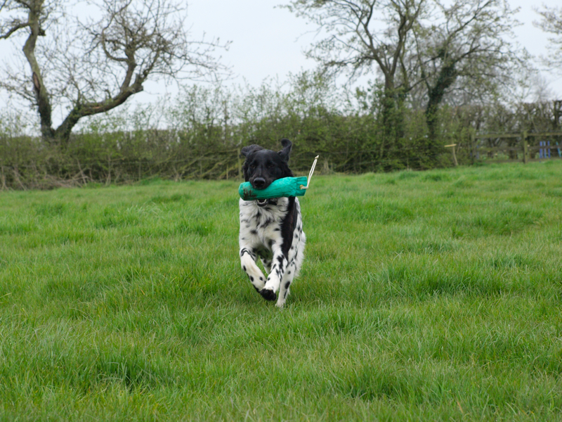 Fast retrieving with a Munsterlander